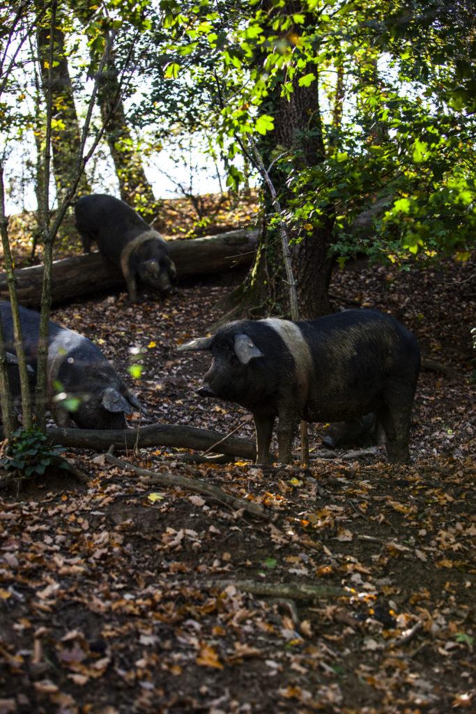 Cinta Senese dans les bois de Barbischio